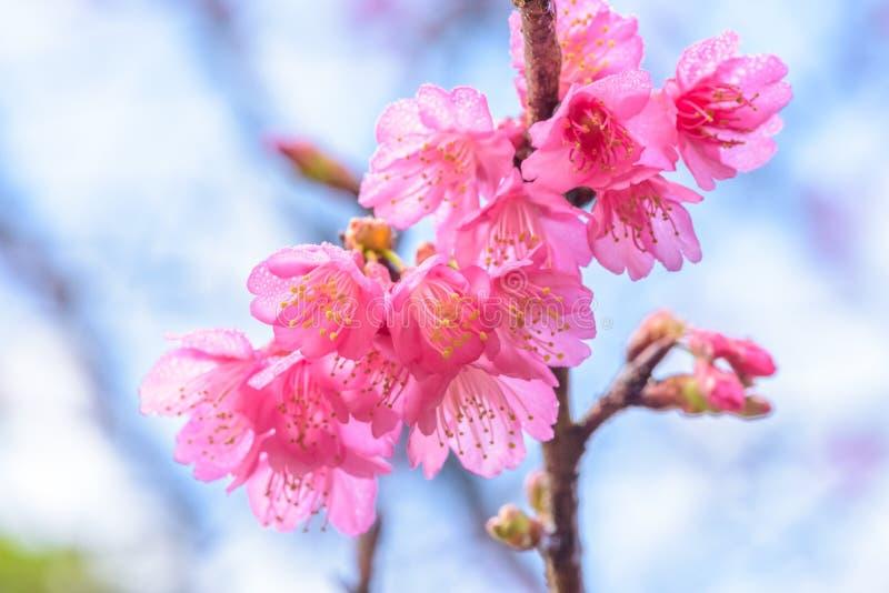 Wild Himalayan cherry blossom Sakura royalty free stock photography