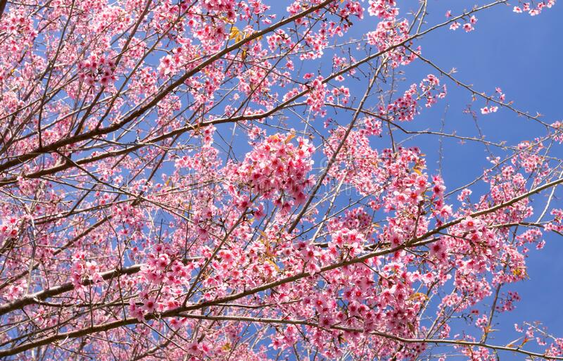 Wild himalayan cherry blossoms in spring season, Prunus cerasoides, pink sakura flower with blue sky background. Wild himalayan cherry blossoms in spring season royalty free stock photos