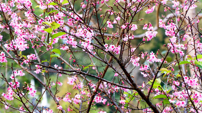 Wild Himalayan Cherry Flowers. Or Cherry Blossom Sakura royalty free stock photography