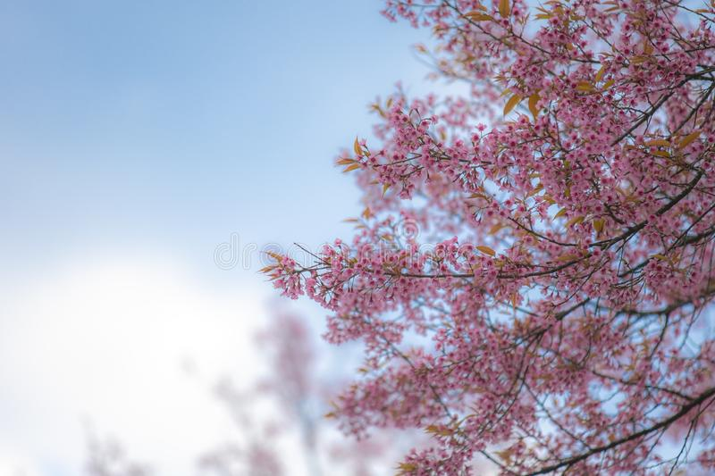 Wild Himalayan Cherry or Prunus cerasoides, blooming on blue sky. Wild Himalayan Cherry or Prunus cerasoides, blooming on blue sky background royalty free stock images
