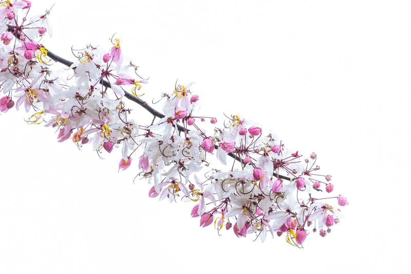 Wild Himalayan Cherry Prunus cerasoides blooming Used as background. And in put the Text stock image