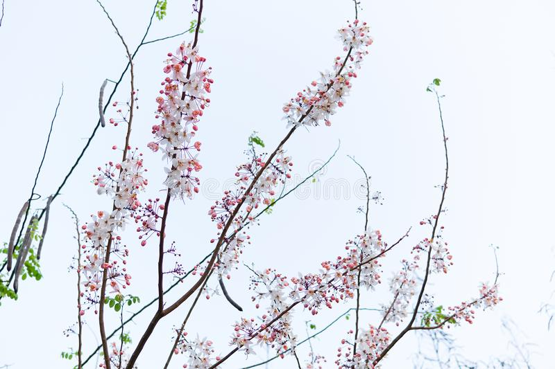 Wild Himalayan Cherry Prunus cerasoides blooming on white sky background. White pink wild flowers on branches of tree royalty free stock photos