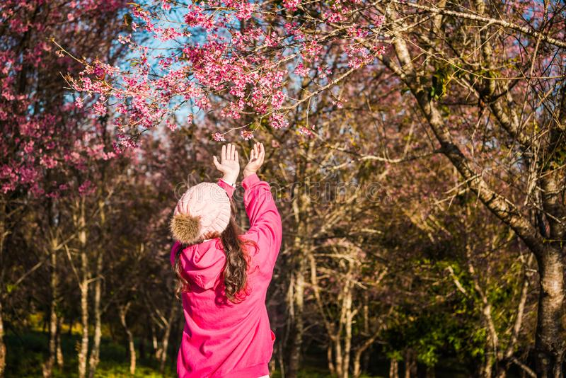 Wild himalayan cherry in sunshine day stock image