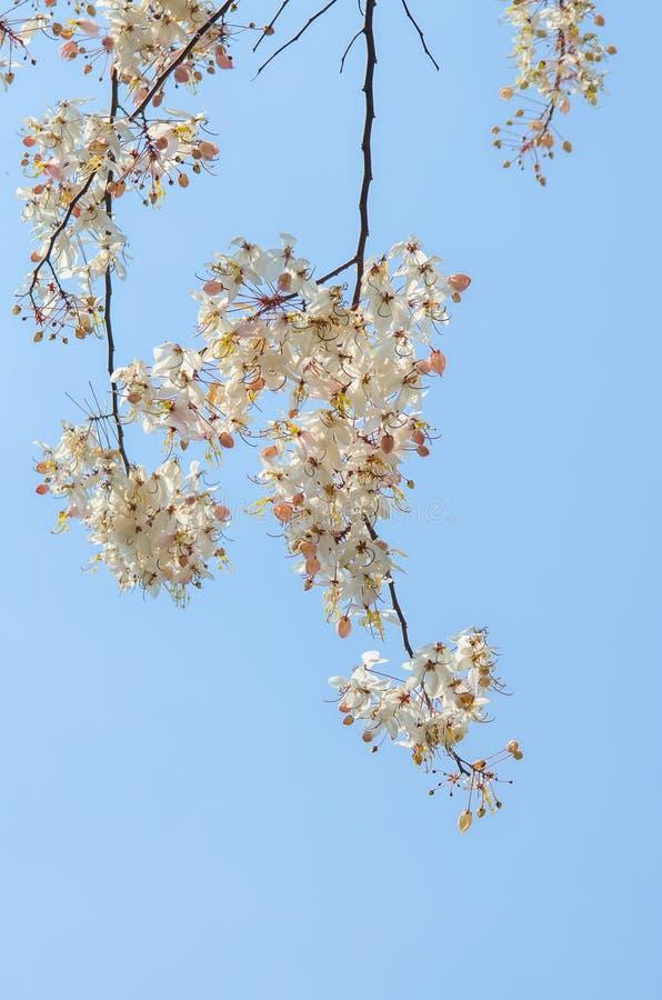 Wild Himalayan körsbärsrött blomma arkivfoto
