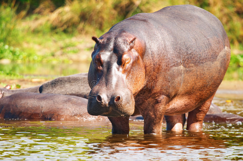 Wild hippo stock photography