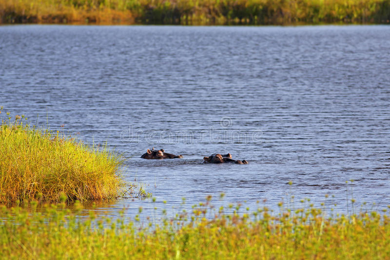 Download Wild Hippopotamus stock photo. Image of unspoiled, water - 27713070
