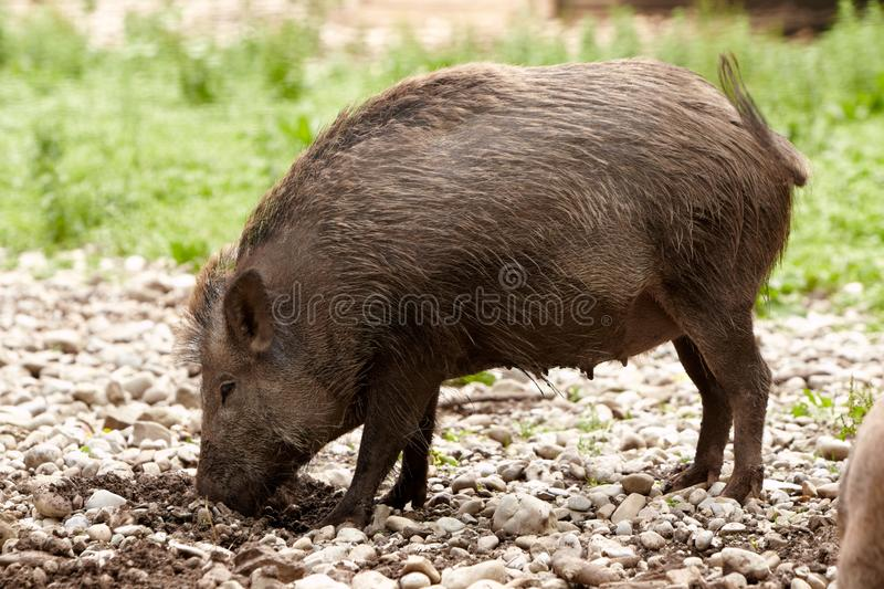 Wild hog. Brown wild hog digging in the ground royalty free stock photography