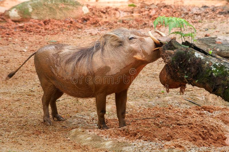 Wild hog. Smell tree trunk royalty free stock photography