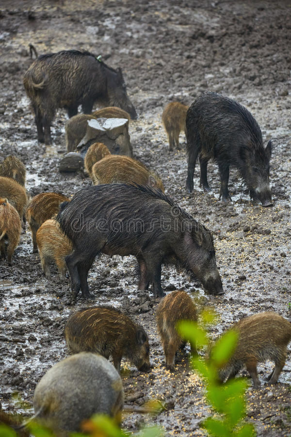 Wild hog female and piglets in the mud stock photo