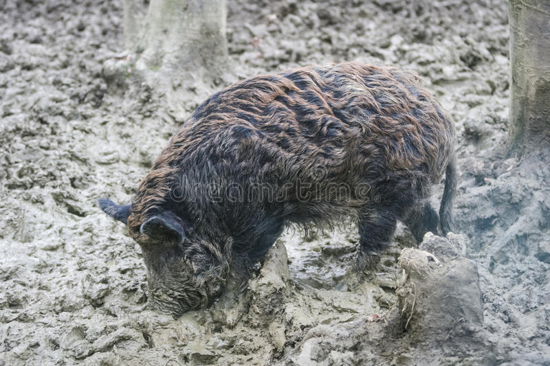 Wild hog in mud royalty free stock images