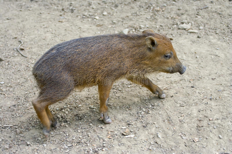 Download Wild hog piglet stock photo. Image of fauna, sniff, boar - 25165338