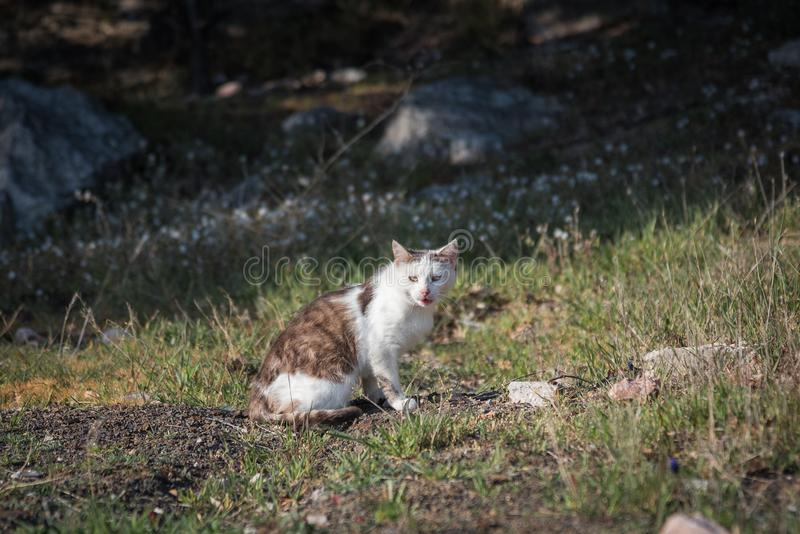 Wild homeless ragged cats walk in nature on the southern coast of the Crimea peninsula. Foros, Republic of Crimea - April 1, 2019: Wild homeless ragged cats walk royalty free stock photography