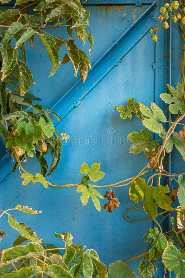 Wild hops against a blue metal fence. Creative vintage background stock photo