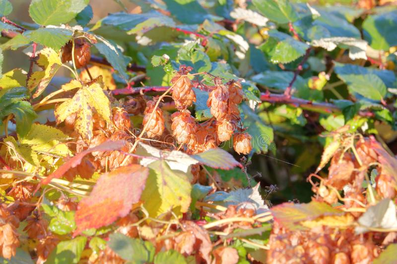 Wild Hops in Autumn royalty free stock photography