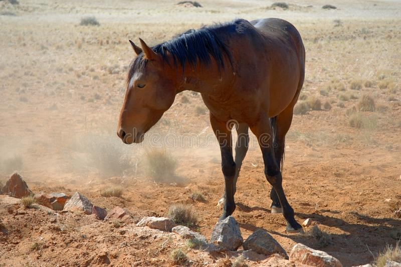 Download Wild horse stock photo. Image of sand, animal, namib - 26157468