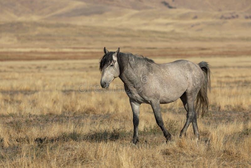 Wild Horse in Autumn in Utah. Wild horse in autumn in the Utah desert stock photos