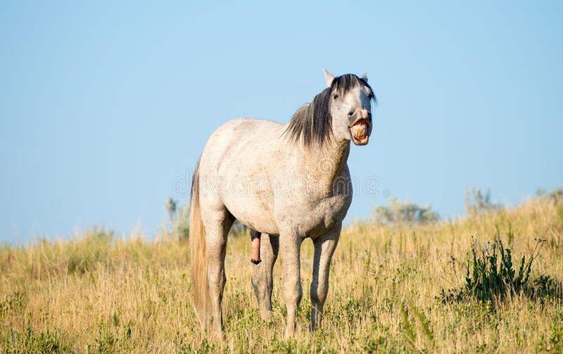 Wild Horse Baring Teeth, Wildlife. A wild horse in nature is baring its teeth. Horses that do this can be showing dominance, ready to fight, smelling the air, or stock photo
