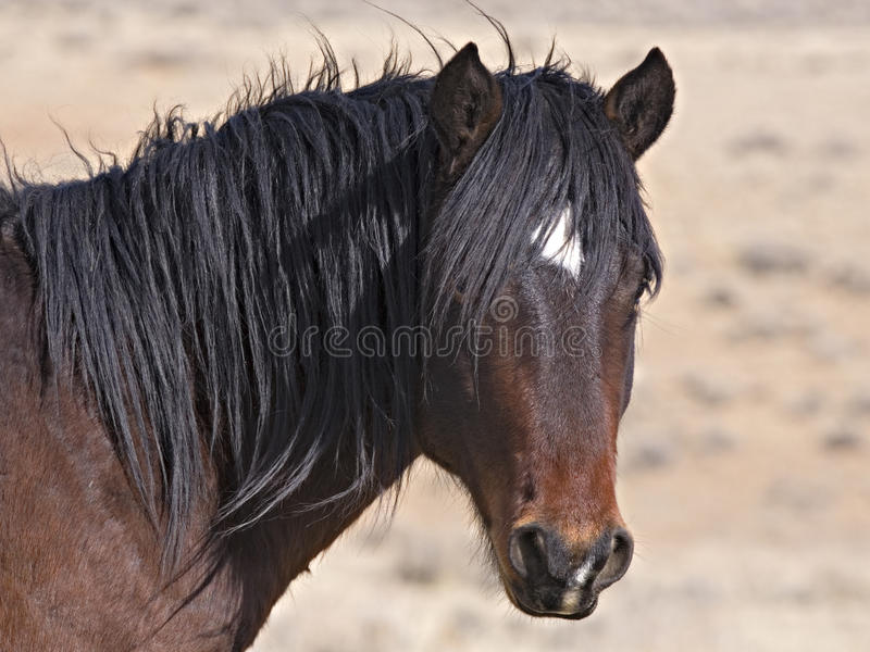 Wild Horse with Black Mane. This mustang Stallion dominates the herd in the McCullough Peaks of Wyoming stock photography