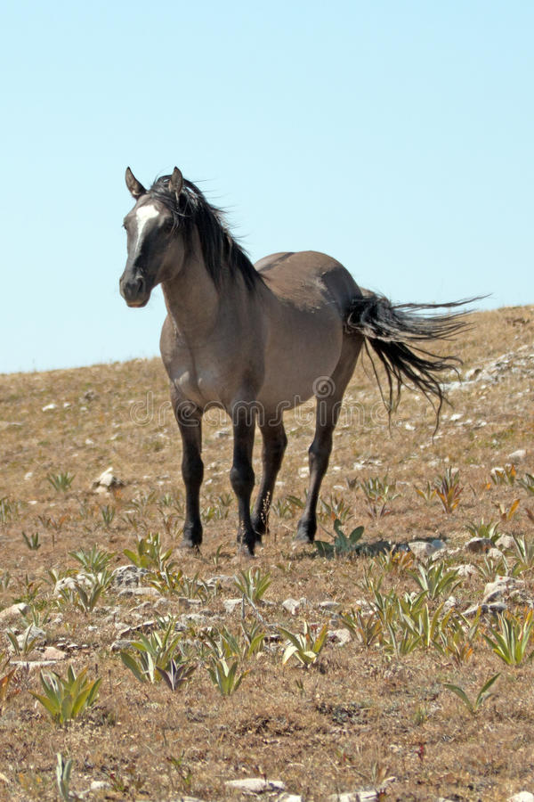 Wild Horse Blue Roan Colored Band Stallion Standing On Sykes Ridge ...