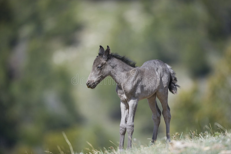 Download Wild horse colt stock photo. Image of gray, horse, animal - 8481794