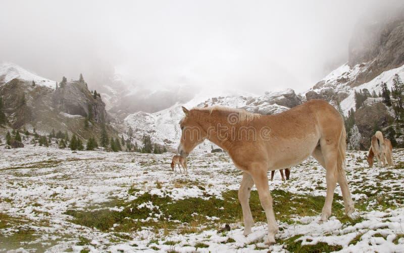Wild horse in Dolomite Mountains stock photos