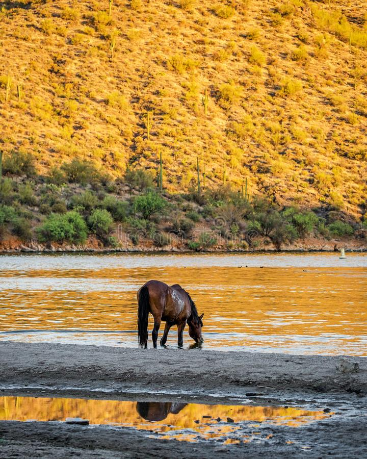 Wild Horse Drinking Water From River stock images
