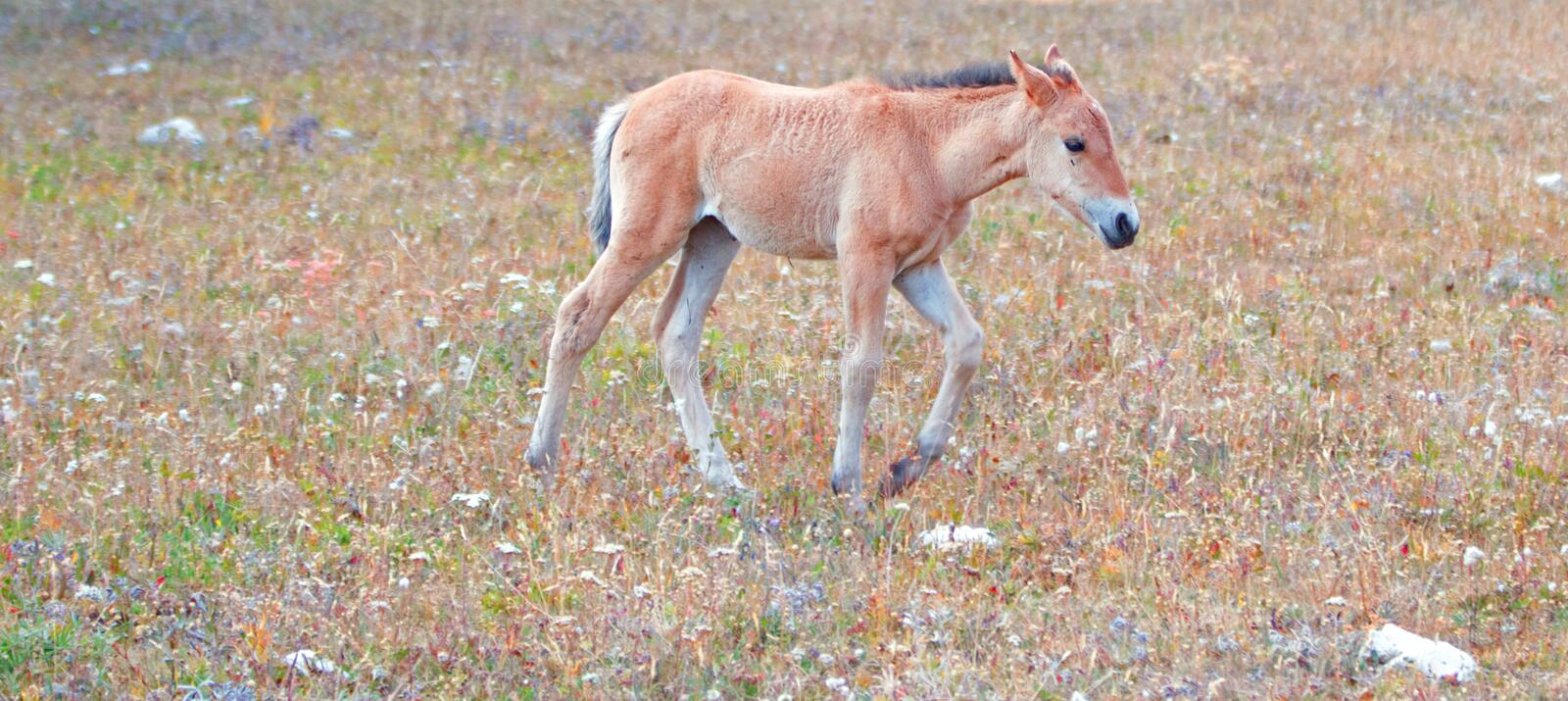Wild Horse - Dun colored Baby foal colt on Sykes Ridge in the Pryor Mountains Wild Horse Range on border of Montana and Wyoming US. Wild Horse - Dun Bay colored stock photos