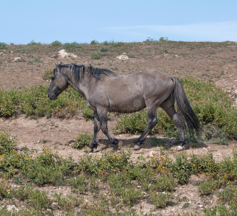 Wild Horse Grulla Gray colored Band Stallion on trail above watering hole in the Pryor Mountains in Montana – Wyoming stock photo