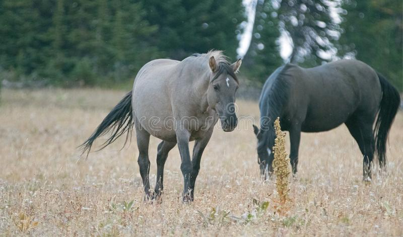 Wild Horse - Grulla Gray pregnant mare walking in the afternoon in the Pryor Mountains Wild Horse Range on the border of Mon stock photos