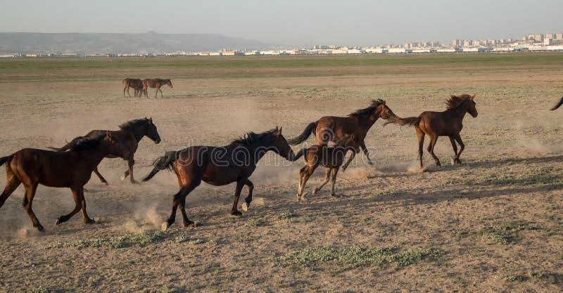 Wild horse herds running in the desrt, kayseri, turkey. Wild horse herds running in the desrt very dusty, kayseri, turkey stock photography