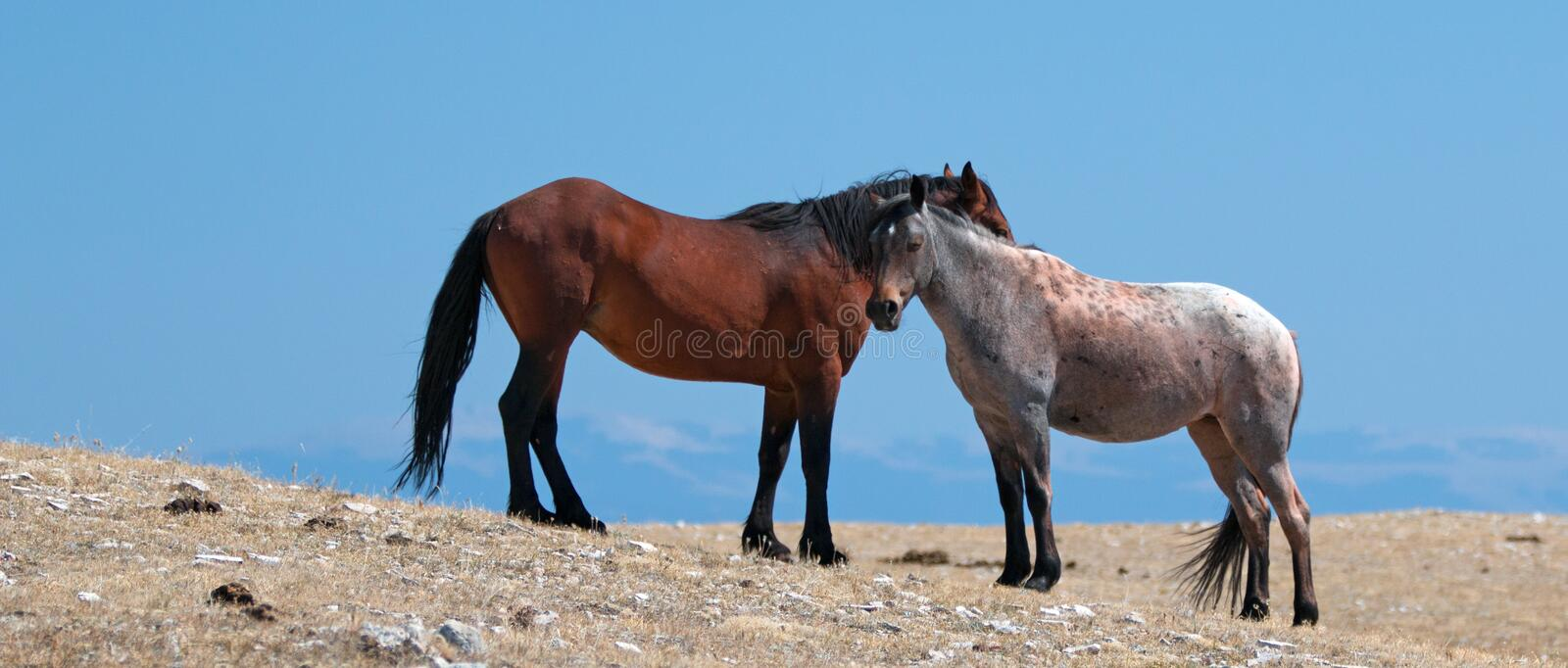 Wild Horse Mustang Bay Band Stallion with his Strawberry Red Roan Mare on Sykes Ridge in the Pryor Mountains Wild Horse Range. Wild Feral Horse Mustang Bay Band royalty free stock photo