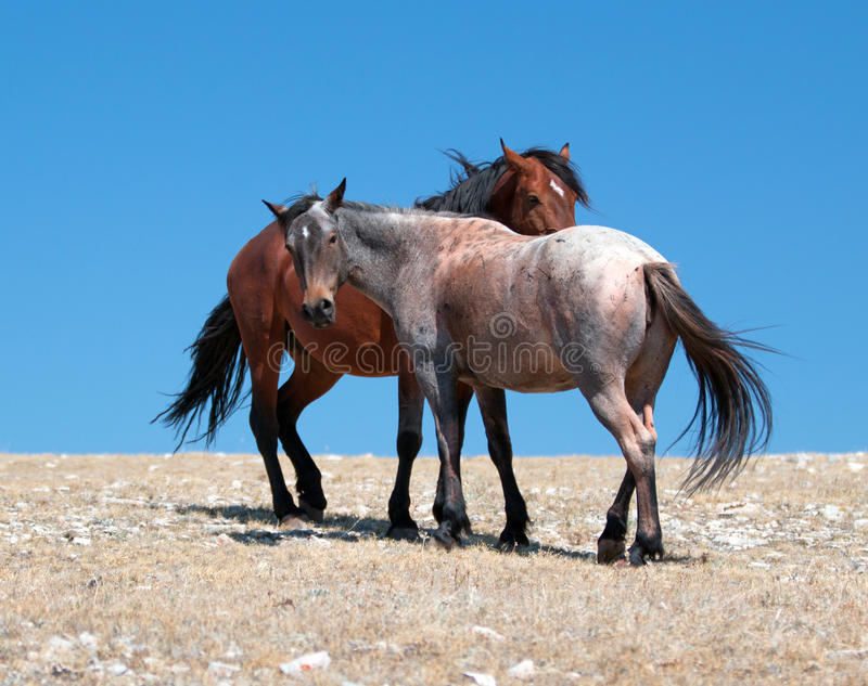 Wild Horse Mustang Bay Band Stallion with his Strawberry Red Roan Mare on Sykes Ridge in the Pryor Mountains Wild Horse Range. Wild Feral Horse Mustang Bay Band stock images