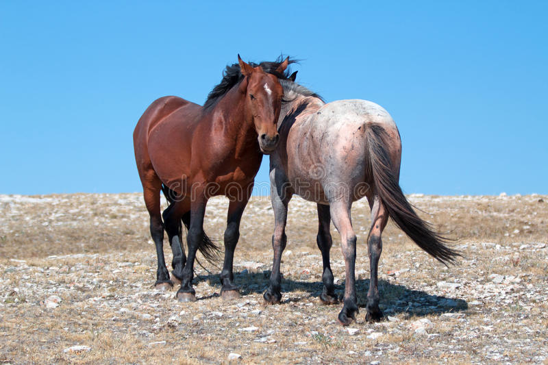 Wild Horse Mustang Bay Band Stallion with his Strawberry Red Roan Mare on Sykes Ridge in the Pryor Mountains Wild Horse Range. Wild Feral Horse Mustang Bay Band stock photography
