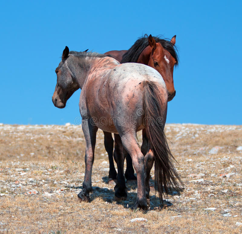 Wild Horse Mustang Bay Band Stallion with his Strawberry Red Roan Mare on Sykes Ridge in the Pryor Mountains Wild Horse Range. Wild Feral Horse Mustang Bay Band stock photos