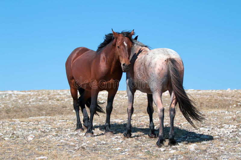 Wild Horse Mustang Bay Band Stallion with his Strawberry Red Roan Mare on Sykes Ridge in the Pryor Mountains Wild Horse Range. Wild Feral Horse Mustang Bay Band stock photo