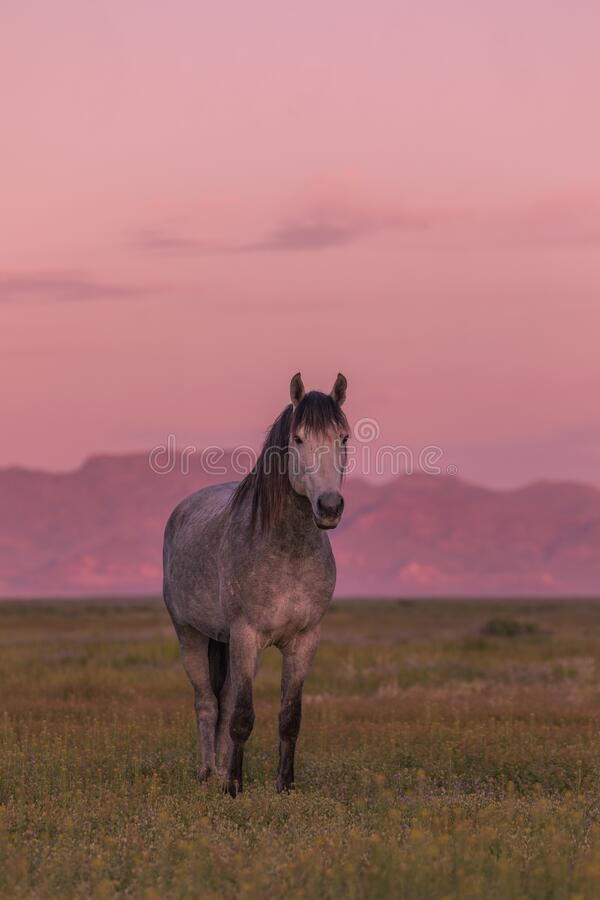 Wild Horse op Sunrise in Utah royalty-vrije stock foto's