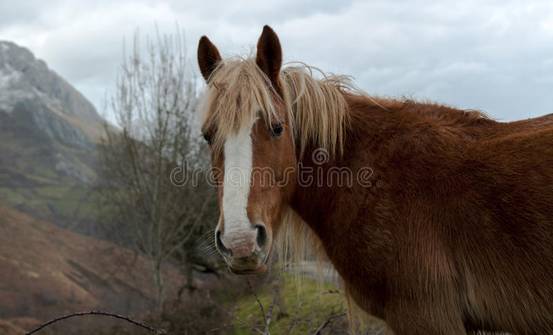 Wild Horse Portrait. In a hill, in Asturias, Spain stock image