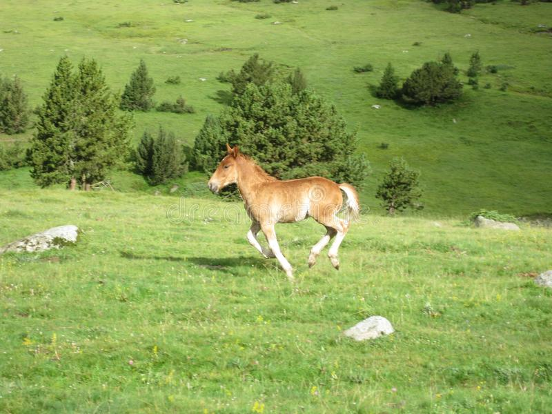 Wild horse running through the meadow stock images