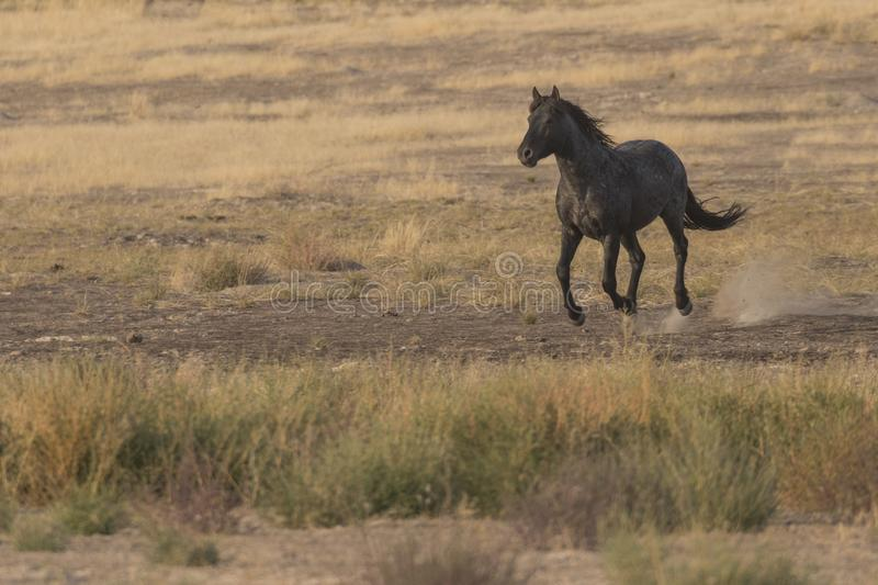 Wild Horse Running. A wild horse in the running Utah desert royalty free stock image