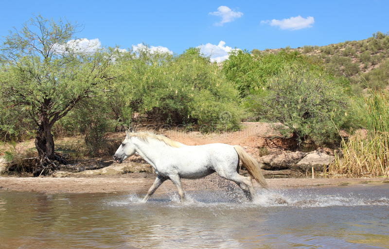 Wild Horse running. Wild White stallion horse running in a river royalty free stock photo