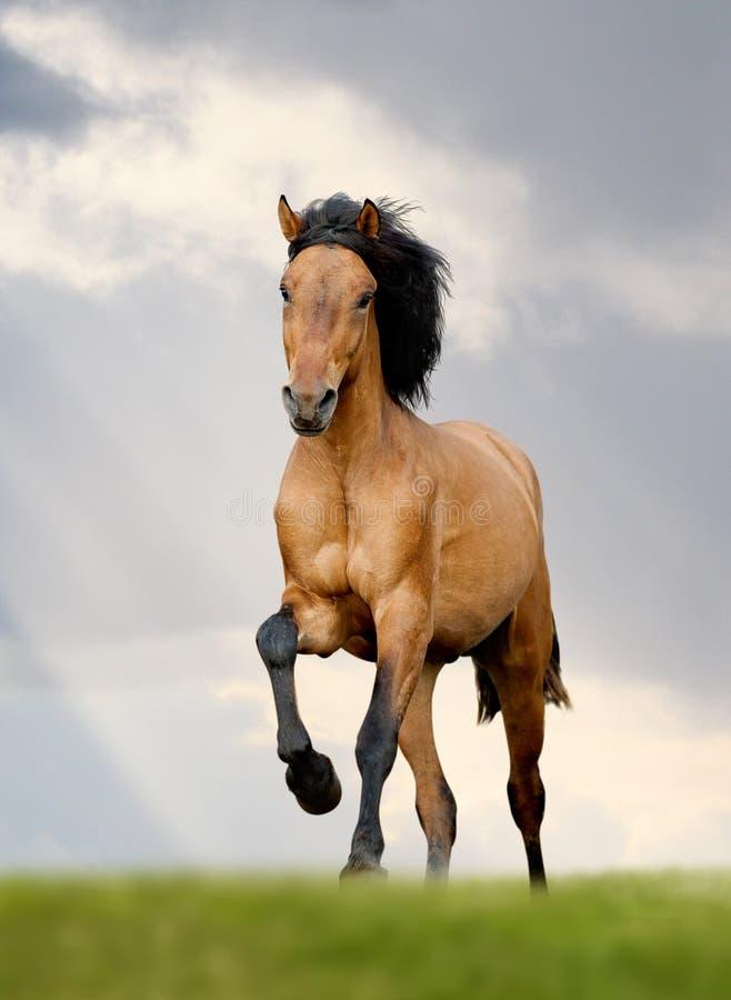 Wild horse runs. A gallop stock photo