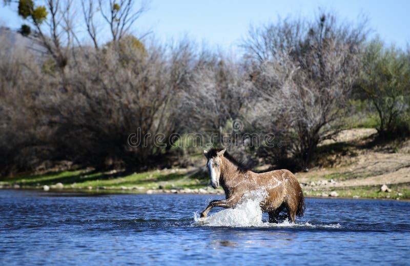Wild horse. Salt River wild horses in the Tonto National Forest near Phoenix/Scottsdale, Arizona royalty free stock photography