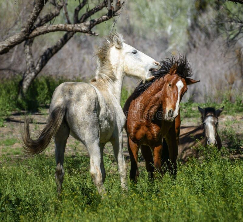 Wild horse. Salt River wild horses in the Tonto National Forest near Phoenix/Scottsdale, Arizona stock photos