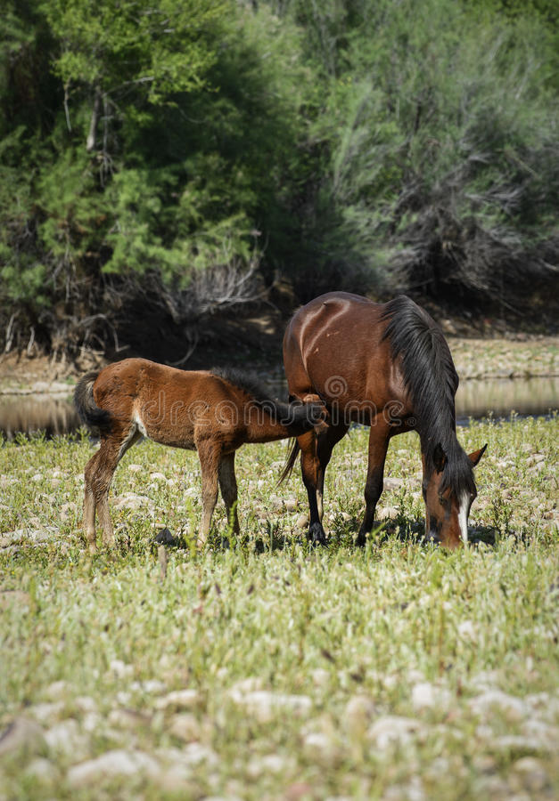 Wild horse. Salt River wild horses in the Tonto National Forest near Phoenix/Scottsdale, Arizona royalty free stock image