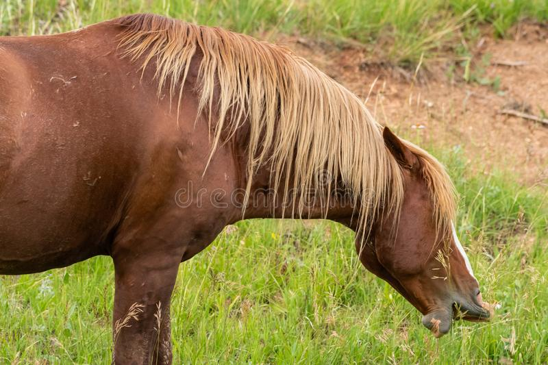 Wild Horse Takes Big Bite. In Theodore Roosevelt National Park stock photography