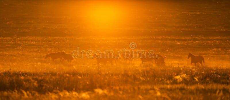 Wild horse in wildlife on golden sunset stock image