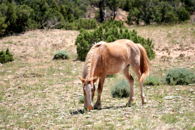 Wild horse in wyoming royalty free stock photo