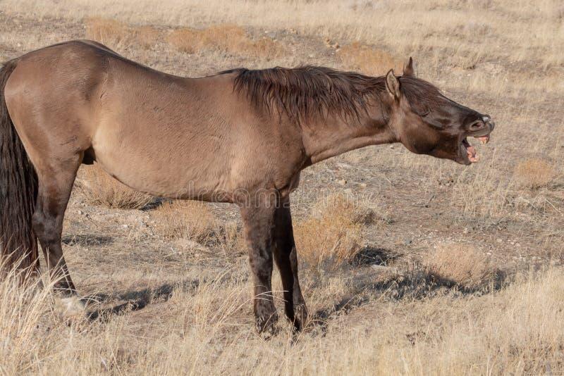 Wild Horse Yawning in the Utah desert royalty free stock photo