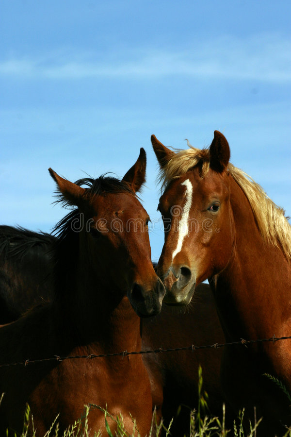 Download Wild Horses stock photo. Image of horse, focus, attention - 1370994
