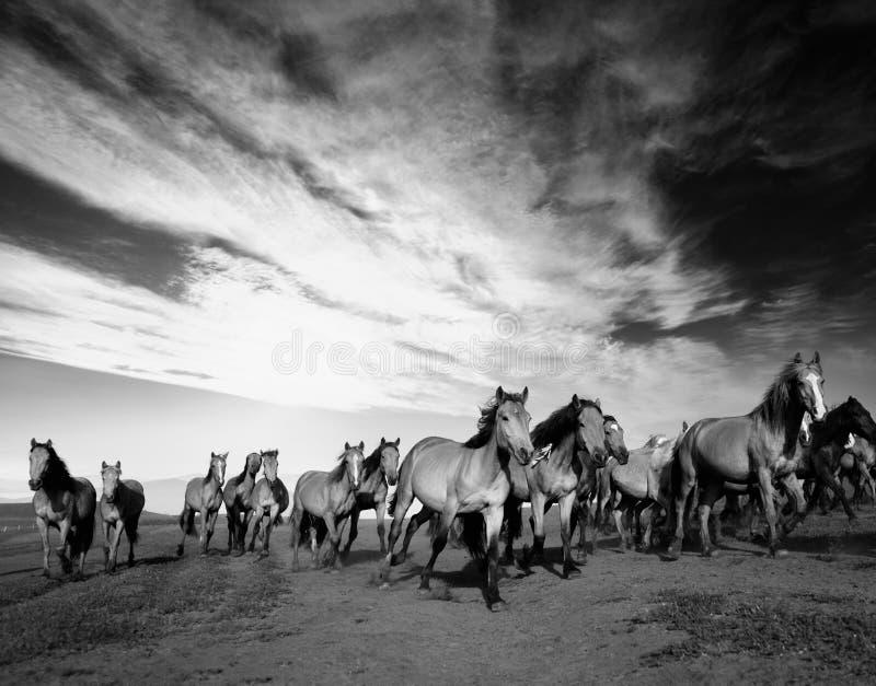 Wild horses. Running in field